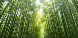 Bamboo as an Alternative Investment