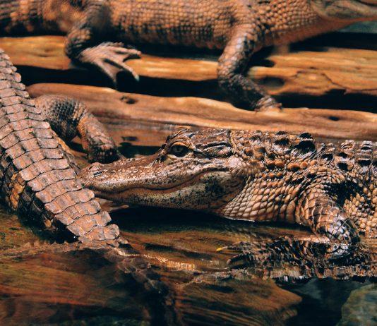 PETA 'Crocodiles' to Storm Hermès Store